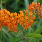 Butterfly_Weed_2_Entire_Flower_Head_Wiki