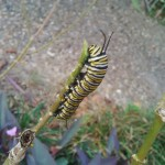 monarch in the making, d e clark oct 2015 (1)